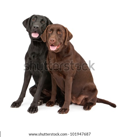 Two beautiful Labrador Retriever dogs sitting closely together against a white backdrop. Dogs are one year old females from the same litter. One has a black coat and the other a brown coat. - stock photo