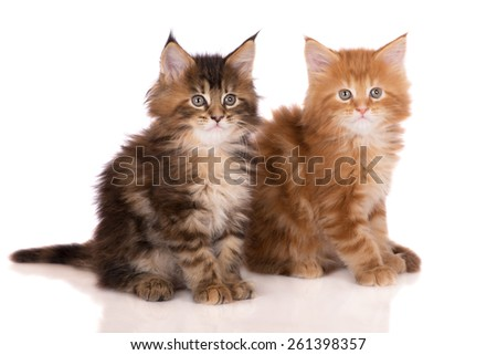 two beautiful maine coon kittens - stock photo
