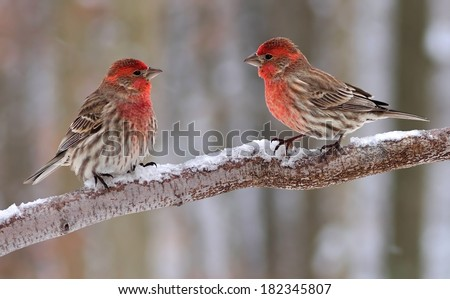 Two beautiful male House Finches (Carpodacus mexicanus) on a snowy branch. - stock photo