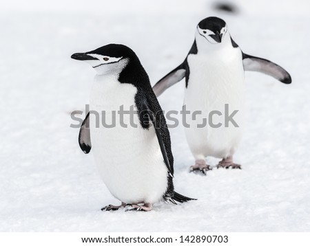 Two beautiful penguins - stock photo