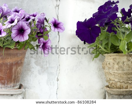 two beautiful petunia flowerpots arranged against  cracked white background - stock photo