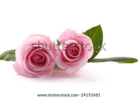 Two beautiful pink roses - stock photo