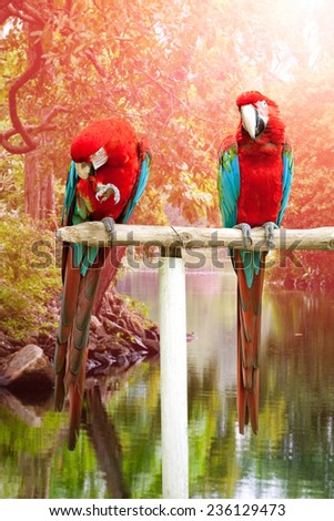 Two beautiful red and blue macaw perched on a wooden post by the tropical river - stock photo