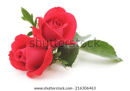 Two beautiful red roses on a white background - stock photo