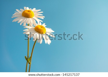 Two beautiful white flowers daisies over clear blue sky. Summer concept, horizontal, copy space - stock photo