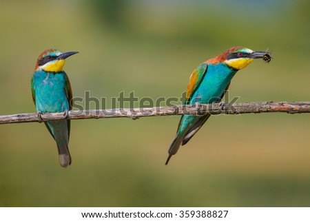 two bee-eaters sitting on a branch on a beautiful background - stock photo