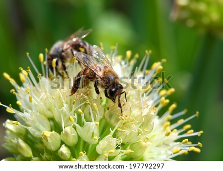 two bees on flower of onion - macro shot - stock photo