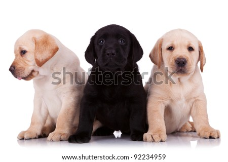 two beige and one black little labrador retriever puppies on white background - stock photo