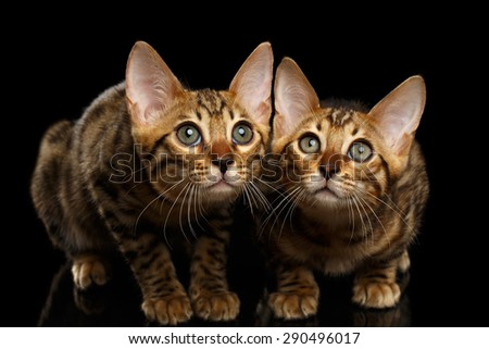 Two Bengal Kitty Looking in Camera on Black Background  - stock photo