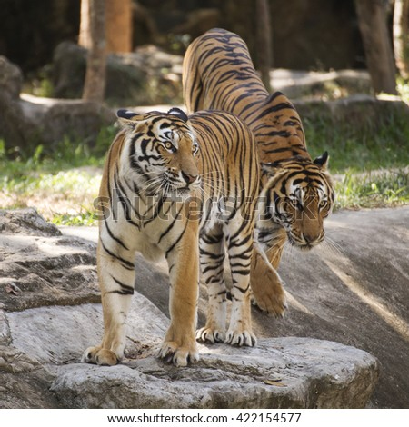 Two bengal tigers walking near the pond - stock photo
