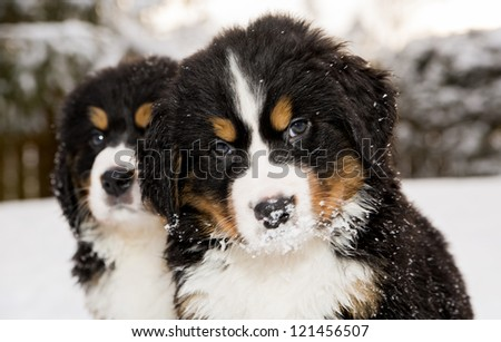Two bernese mountain dog puppest looking at camera - stock photo