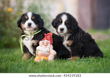 two bernese mountain dog puppies sitting outdoors - stock photo