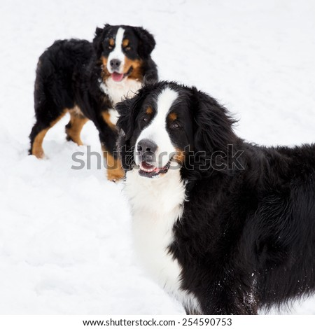 Two Bernese Mountain Dogs in snow.  - stock photo