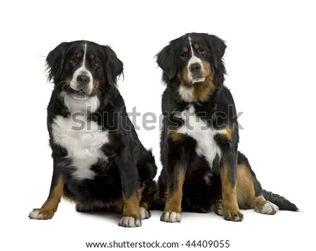Two Bernese mountain dogs 2 years and 7 months old, sitting in front of white background - stock photo