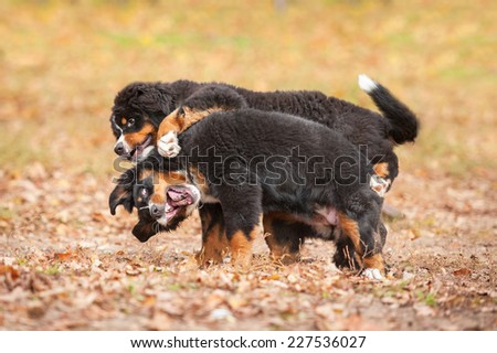 Two bernese mountain puppies playing in the park in autumn - stock photo