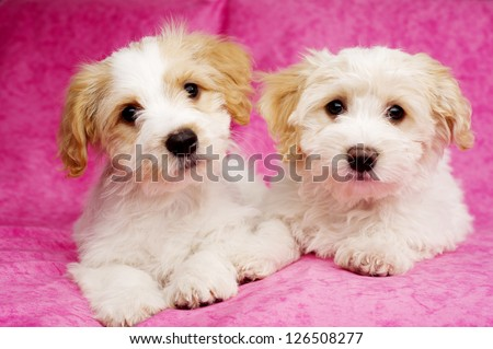 Two Bichon Frise cross puppies laid on a pink mottled background - stock photo