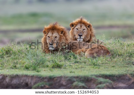 Two big Lion brothers late evening in the Serengeti - stock photo