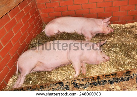 two big pigs are sleeping - stock photo