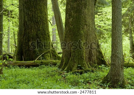 Two big trees in natural mixed forest,early summer, Europe,Poland,Bialowieza Forest - stock photo