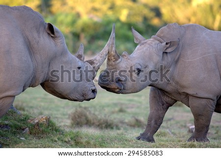Two big white rhino / rhinoceros fight and clash horns together in this territorial battle photographed in South Africa, with grain - stock photo