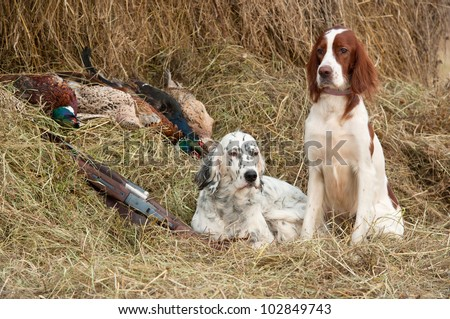 Two Bird dog resting after the hunt beside a shotguns and pheasants in front of a hay, horizontal - stock photo