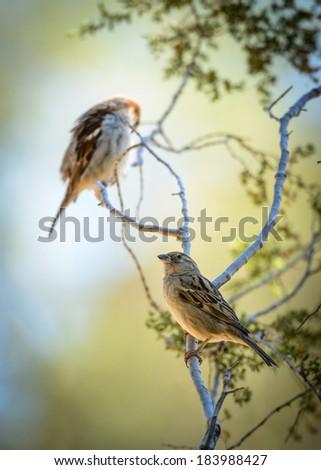 Two birds - sparrows - stock photo