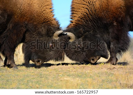Two Bison Head-butting. - stock photo