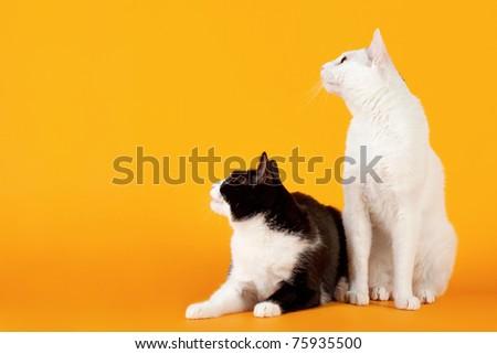 Two Black and white japanese bobtails on orange background - stock photo