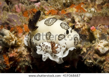 Two Black and White Jorunna (Jorunna funebris) laying eggs on the reef. - stock photo