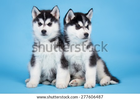 Two Black and white Siberian Husky puppies on blue background - stock photo