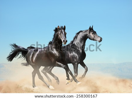 two black arab horses running in desert - stock photo