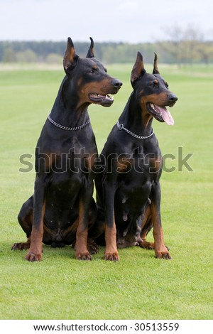 two black dobermans sitting on the grass - stock photo