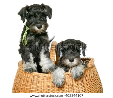 Two black dogs put in brown bag - stock photo
