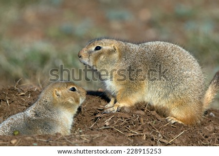 Two Black-tailed Prairie Dogs in West Texas - stock photo