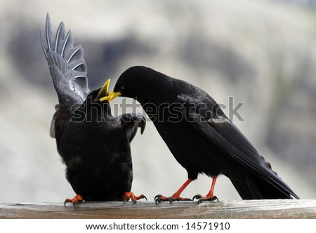 Two Blackbirds in Dolomiti - Italy - Europe - stock photo