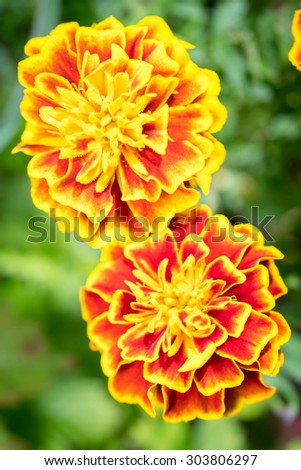two blooming marigolds (tagetes) in the garden. - stock photo