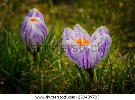 two blossoming crocuses - stock photo