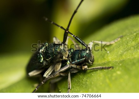 two blue back bedbugs having sex - stock photo