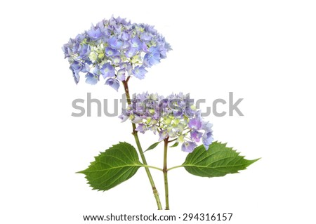 Two blue mophead hydrangea flower heads and leaves isolated against white - stock photo