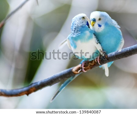 Two blue parakeets perched in a tree. - stock photo