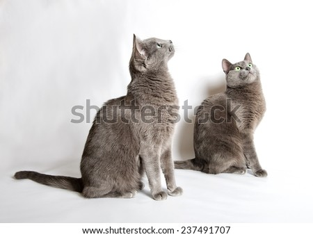 Two Blue Russian cats, two curious cats, cat, domestic animal, grey cat - stock photo