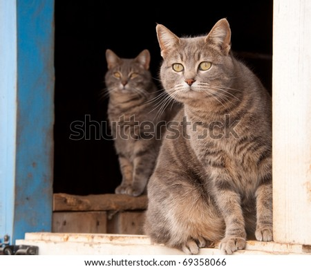 Two blue tabby cats looking out of a blue barn - stock photo