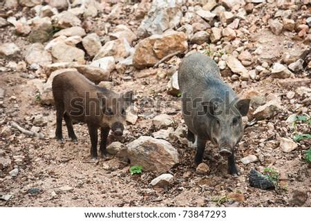 Two boar - stock photo