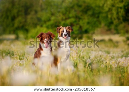 Two border collies on a green lawn - stock photo