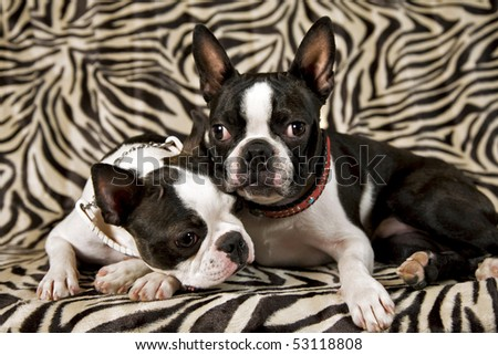 two boston terriers,female left and male right on a zebra background - stock photo