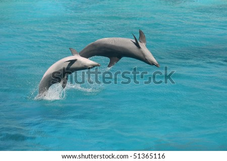 Two Bottle Nose Dolphins jumping in blue water upside down - stock photo