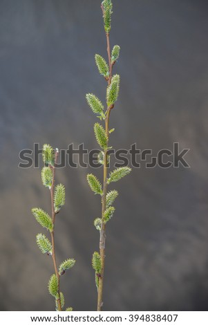 Two branches with Pussy Willow Catkins, Branch with Bud and water background,Willow Salix, 2, spring time blooming willow tree - stock photo