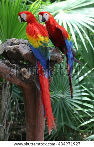 two bright colored parrot on a branch - stock photo