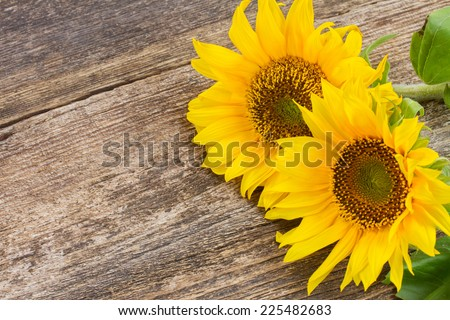 two bright sunflowers  close up on wooden table background - stock photo