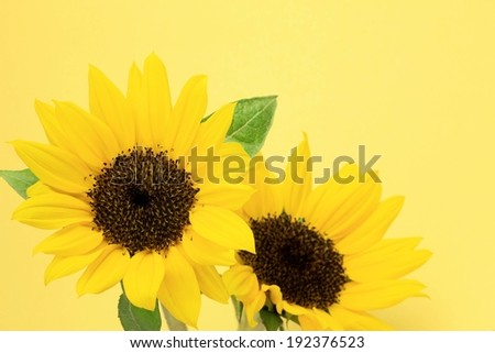 Two bright yellow sunflowers with dark green leaves. - stock photo